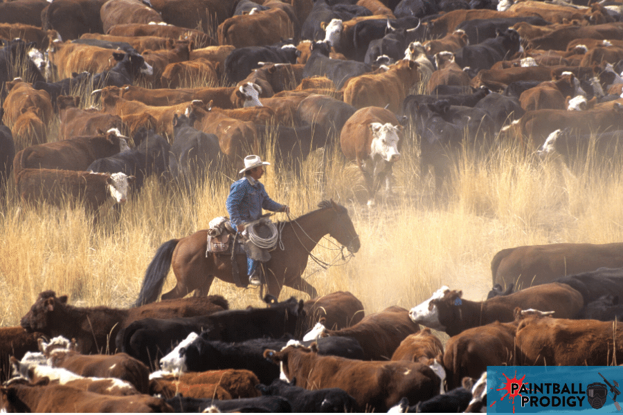 using paintball guns to mark cattles